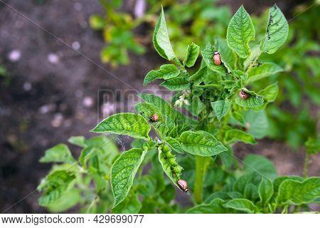 Potato Parasite. Larvae Of The Colorado Potato Beetle On Potato Leaves Close-up. Reproduction Of Col