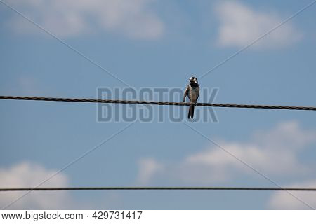 White Wagtail Motacilla Alba Sitting On Eletric Wire Against A Blue Sky Background. Copy Space