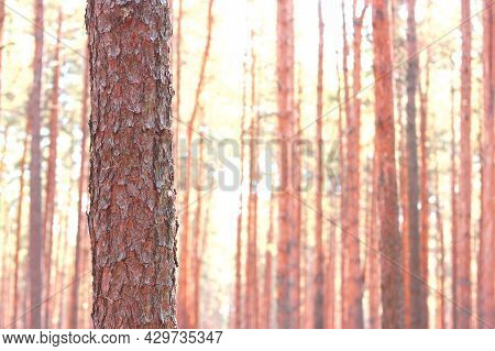 Pine Forest With Beautiful High Pine Trees Against Other Pines With Brown Textured Pine Bark In Summ