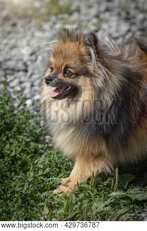 German Spitz For A Walk, Red-brown Spitz Puppy Stuck His Tongue Out, Fluffy Cute Pet