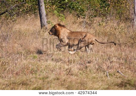 Lion male hunt run fast in brown grass chase poster