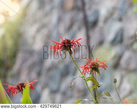 Close up shot of Scarlet bee balm flower