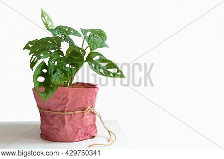 Young Beautiful Plant Monstera Monkey Leaf (monstera Adansonii) Decorated In A Paper Pot On White Ba