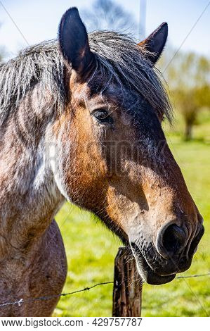 Closeup Of The Head Of A Grayish Brown Dutch Draft Horse, Known As Zeeland Horse, Sunny Day On The F