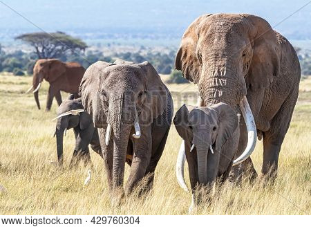 Herd of African Elephants, loxodonta africana, walking through the grasslands of Amboseli National Park, Kenya. The bull elephant is Tusker Tim, a super tusker with tusks that weigh over 100lbs each