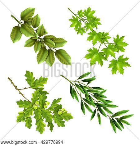 Realistic Collection Of Green Branches Of Deciduous Trees With Oak Maple Olive Leaves Isolated Vecto