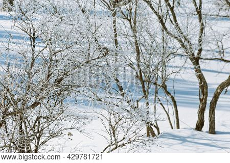 Beautiful Winter Trees Covered Frost, Sparkling Snow On Branches At Sunny Winter Day. Natural Landsc