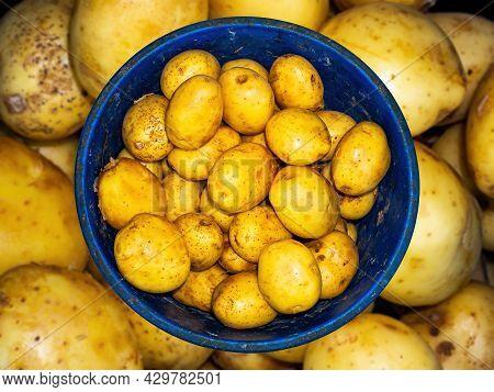 Harvest Potato Vegetables In A Plastic Bucket. Potato Vegetable. Harvesting. Agricultural Business.