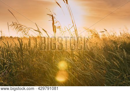 Close Up Ripe Wheat Ear In Sunset Sunrise Lights. Countryside Rural Field With Wheat In Summer Eveni