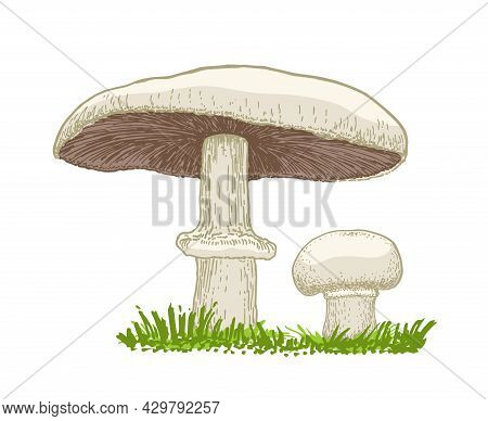 Vector Illustration Of Mushrooms Champignons Growing In The Grass. Hand Drawn Style. Edible Mushroom