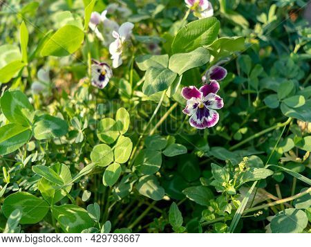 Violet Tricolor Flower, Fuchsia, Purple And White Color, In The Garden Among The Shamrock Grass
