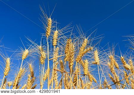 Beautiful Detail Of Ripening Wheat In A Field. Natural Colour Background At Sunset With Blue Sky.