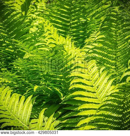 Natural Background - Thickets Of Fern, Green Fern Leaves Illuminated By A Bright Sun Close-up
