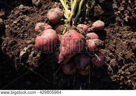 Bush Of Potato Digged Up. Harvesting New Yield Of Potato. Red Potato On A Soil Close Up.