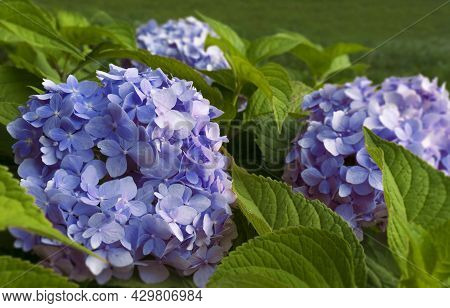 Flowering Bush Of Blue Colored Hydrangea Close-up. The Concept Of Growing Garden Plants, Landscaping