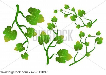 Grapevine Climbing Branch With Leaves Set Isolated On White Background. Grape Vine Or Ivy Creeper De