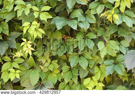Natural Ivy Green Leaves Background. Wall Of Wild Grape Leaves Outdoors