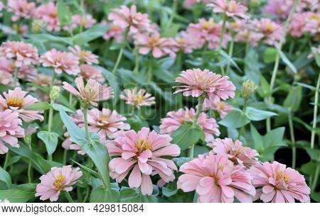 Pink Chrysanthemum, Mums Or Chrysanths Flowers Blooming In A Garden.