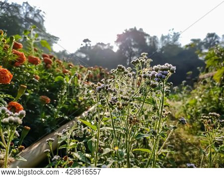 Ageratum Conyzoides Is Native To Tropical America, Especially Brazil, And Considered An Invasive Wee