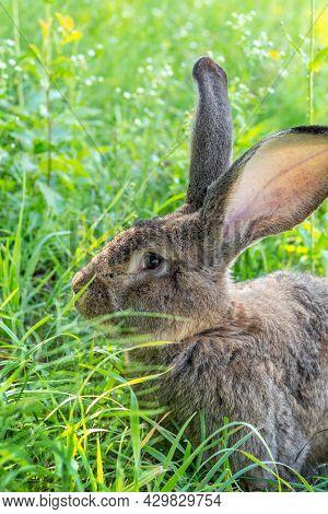 Big Gray Rabbit Breed Vander On The Green Grass. Rabbit Eats Grass. Breeding Rabbits On The Farm