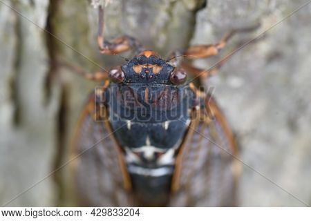 Large Brown Cicada (graptopsaltria Nigrofuscata). A Large Cicada With Brown Opaque Wings.