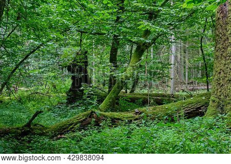 Summertime Deciduous Forest With Broken Oak Branch In Foreground, Bialowieza Forest,poland,europe