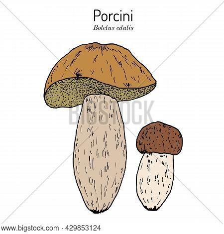 Cep, Penny Bun, Porcino Or Porcini Boletus Edulis , Edible Mushroom. Hand Drawn Botanical Vector Ill
