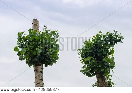 Trees With Cropped Tops Against Overcast Skies. Poplar And Birch Trunks With New Green Branches. Tri