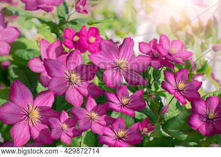 Pink Clematis In Bloom, Bush Of Climbing Plants With Purple Flowers, Summer Garden Background