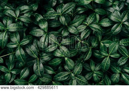 Dark Green Leaves Pattern Background, Natural Background And Wallpaper. Black Tropical Abstract Gree