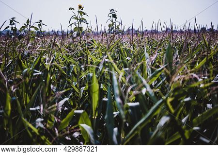Herbicide Resistant Weeds Against The Skyline Above A Field Of Tasseled Corn
