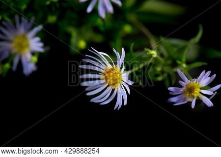 Blue Flowers Of Wild Alpine Aster Or Violet Chamomile On A Black Background. Symphyotrichum Puniceum