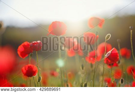 Poppy Meadow In The Light Of The Setting Sun. Flower On Memorial Day, Memorial Day, Anzac Day In New