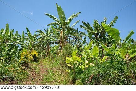 Panoramic Image Of Banana Field, Agriculture In Uganda