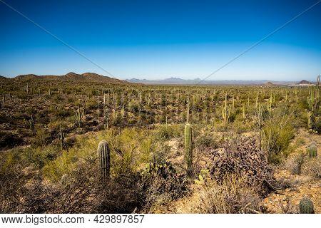 Overlooking Hundreds Of Saguaro Cactus In The Sonoran Desert
