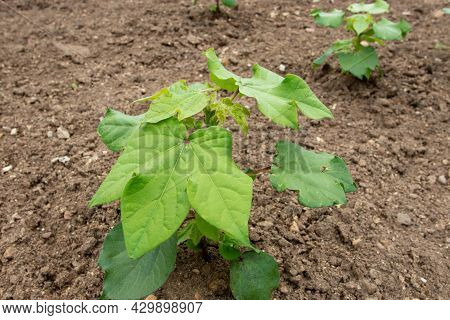 Upland Cotton Or Mexican Cotton Young Plants At The Plantation. Gossypium Hirsutum.