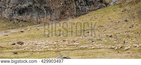Central Asian Shepherd Dog Tending Flock Sheep In The Mountains Of Georgia. Alabai - An Ancient Bree