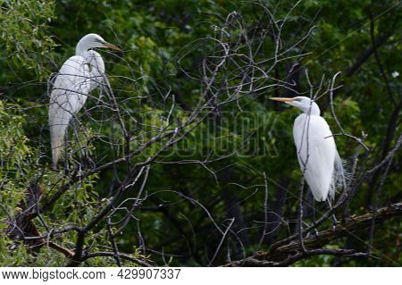 Spring Capture Of Two American Egrets Standing Upon Branches In A Shaded Woodland Habitat.