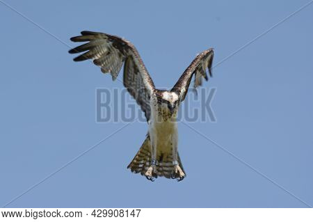 Striking Seasonal Capture Of A Banded North American Osprey Hovering In Mid Air Flight.