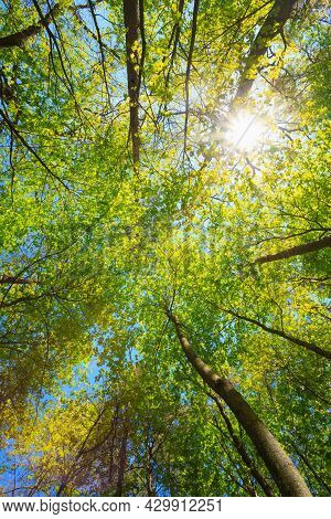Spring Summer Sun Shining Through Canopy Of Tall Trees Woods. Sunlight In Deciduous Forest, Summer N