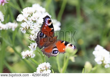 Brown Butterfly Sitting On White Statice Flower In Garden Closeup Background