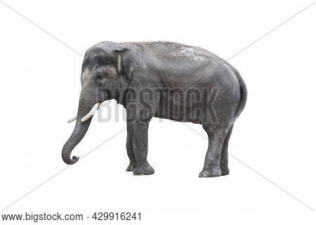Elephant Close Up. Big Grey Elephant Isolated On White Background. Standing Elephant Full Length Clo