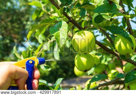 Treatment Of Apple Tree Branches In Summer With A Fungicide Against Pests. Spraying Plants With A Sp
