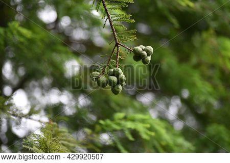 Bald Cypress (taxodium Distichum) Nuts. Cupressaceae Deciduous Conife
