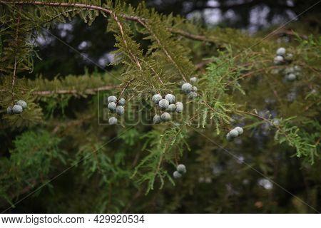 Bald Cypress (taxodium Distichum) Nuts. Cupressaceae Deciduous Conifer