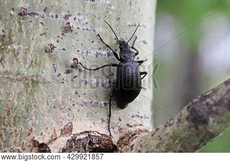 A Purple Rimmed Carabus Beetle Crawls On A Tree Trunk