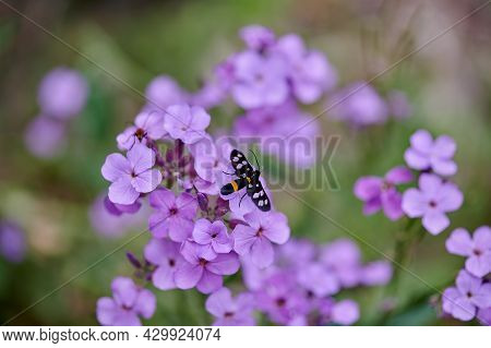 Small Lilac Flowers And A Fly Sits On Them