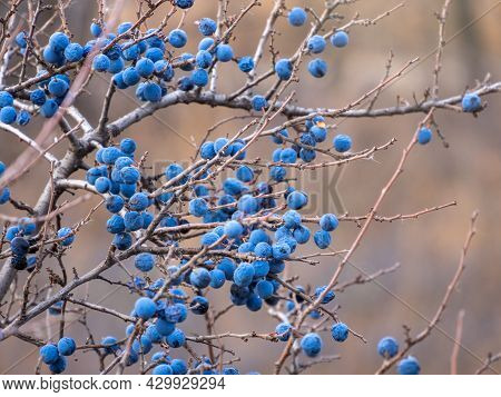 Prunus Spinosa, Called Blackthorn Or Sloe, Suitable For Canned Food, But Tart Enough For Food. To Cr