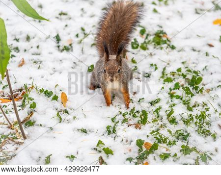 Autumn Squirrel Sits On Green Grass With Yellow Fallen Leaves Covered With First Snow. Squirrel Look