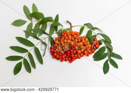 Rowan Branch With Red Berries And Green Ea Leaves Against White Background, Close-up. Autumn Berries